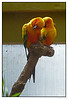 Sun Conure (Aratinga solstitialis)<br /> Auckland Zoo