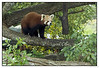 Red Panda - Auckland Zoo