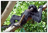 """Siamang gibbon(Hylobates syndactylus)<br /> Auckland Zoo<br /> <br /> The Siamang tends to rest for more than 50% of its waking period (from dawn to dusk), followed by feeding, moving, foraging and social activities. It takes more rest during midday, taking time to groom each other or play. During resting time it usually uses a branch of a large tree lying on their back or on their stomach. Feeding behaviors, foraging, and moving are most often in the morning and after resting time.<br /> <br /> <a href=""""http://en.wikipedia.org/wiki/Siamang"""">http://en.wikipedia.org/wiki/Siamang</a>"""