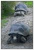 Galapagos tortoise(Geochelone elephantopus).  Auckland Zoo