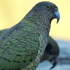 The Kea is the world's only Alpine Parrot.