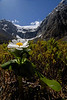 Mt. Cook Lily - East side of Homer Tunnel, New Zealand