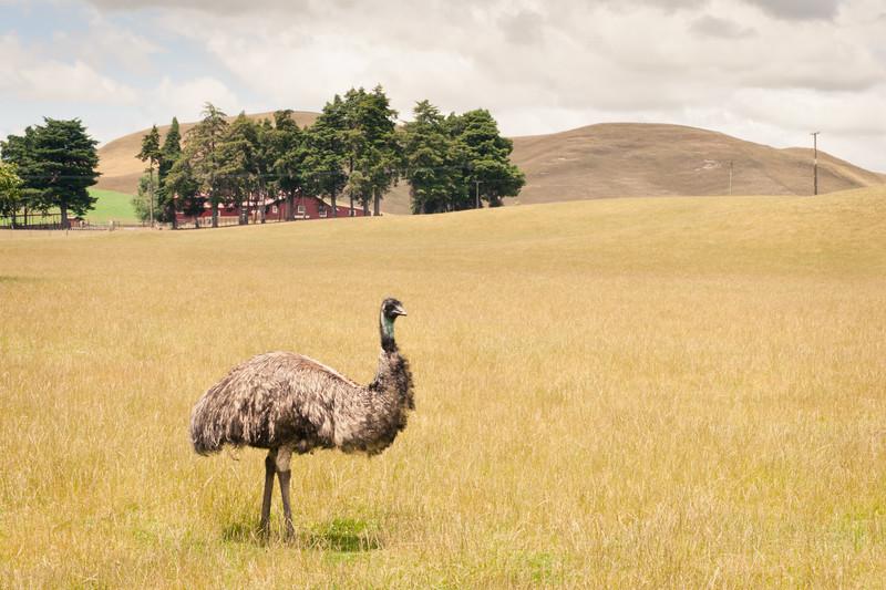 Emu on old heritage sheep station on North Island, New Zealand