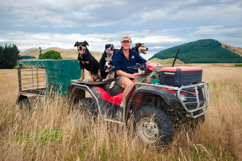 Shepherd out working with dogs, North Island, New Zealand