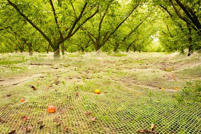 Nets catch fallen fruit in Hawkes Bay orchard