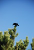 A Crow in a Tree