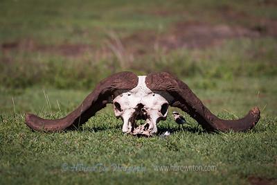 Shelter under African Buffalo Skull