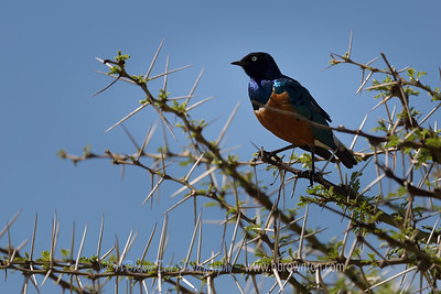 Superb Starling perched up high