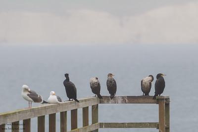 Cormorants & Gulls - Point Reyes, CA, USA
