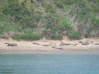 Northern Elephant Seals - Point Reyes, CA, USA