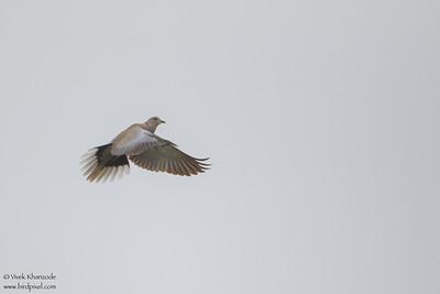 Eurasian-collared Dove - Point Reyes, CA, USA