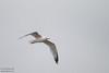 Ring-billed Gull - Point Reyes, CA, USA