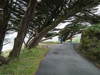 Coastal Pines near the Lighthouse - Point Reyes, CA, USA