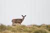 Black-tailed Deer - Point Reyes, CA, USA
