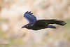 Common Raven - Point Reyes, CA, USA
