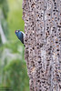 Acorn Woodpecker - Point Reyes, CA, USA