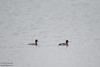Greater Scaup (L) and Lesser Scaup (R)  - Point Reyes, CA, USA