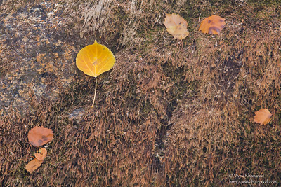 Aspen leaf - Lone Pine, CA, USA