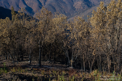 Devastation caused by the Rim Fire of 2013 - Yosemite National Park, CA, USA