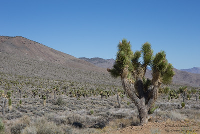 Joshua Tree forest - Near Big Pine, CA, USA