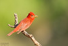 Summer Tanager - Edinburg, TX, USA