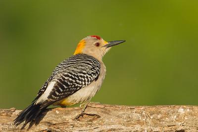 Golden-fronted Woodpecker - Edinburg, TX, USA