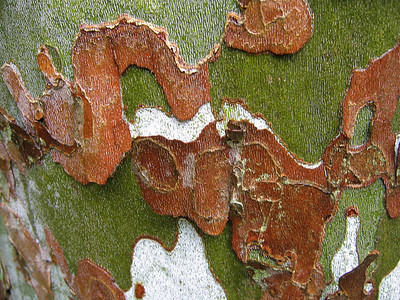 American sycamore bark, Hogback Ridge, Madison, Ohio