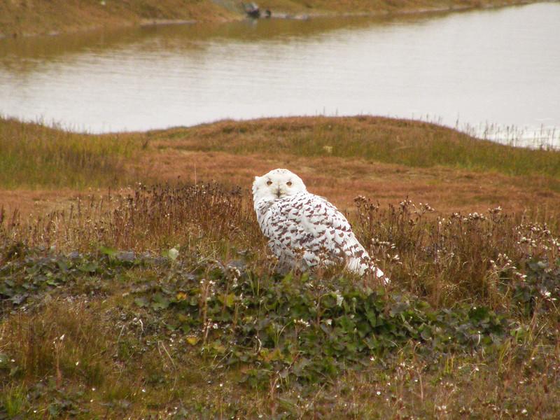 Snowy Owl, Barrow