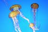 Jellies at Monterey Bay