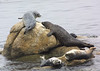 Seals at Monterey Bay