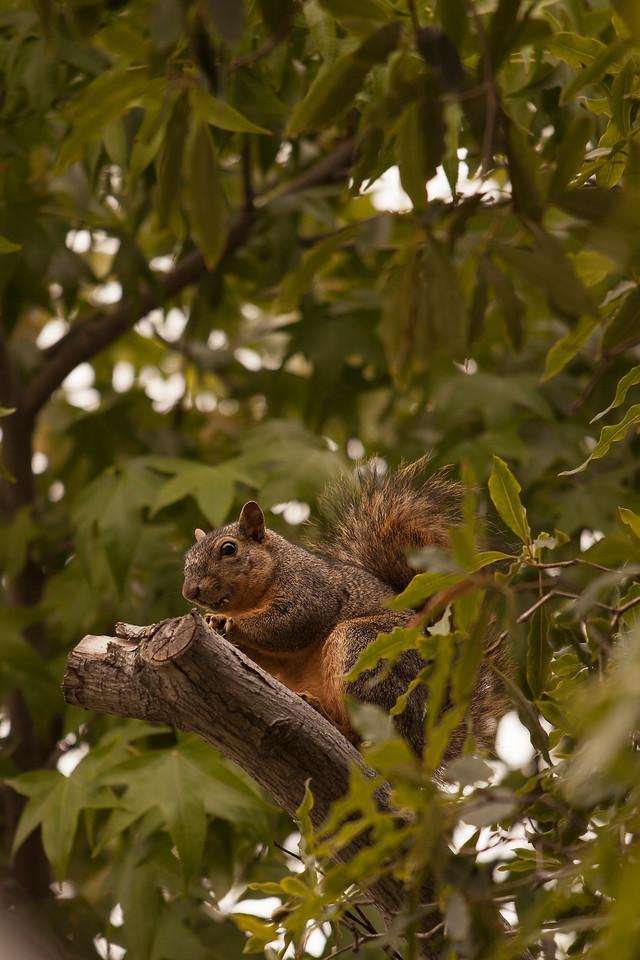 Squirrel, Pasadena