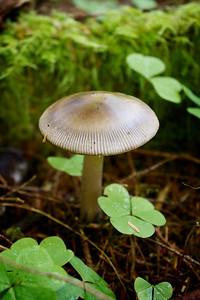 Amanita pachycolea, Western Grisette