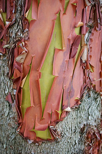 Madrone bark, Orcas Island, Washington