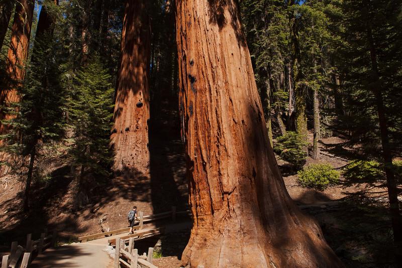 Walking Amongst Giants, Sequoia National Park
