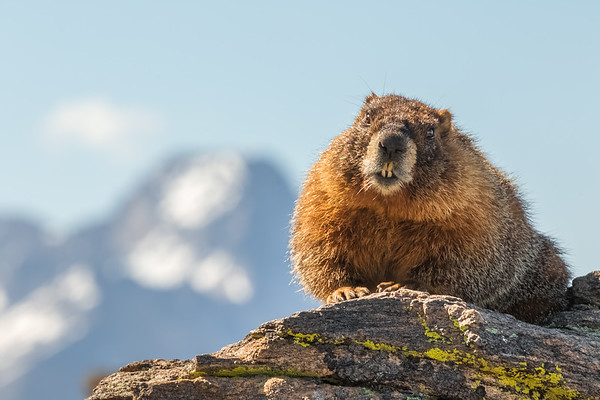 A marmot perched on a rock with Longs Peak in the background in Rocky Mountain National Park.
