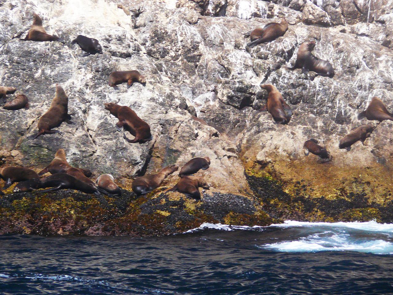 136 Sea Lions