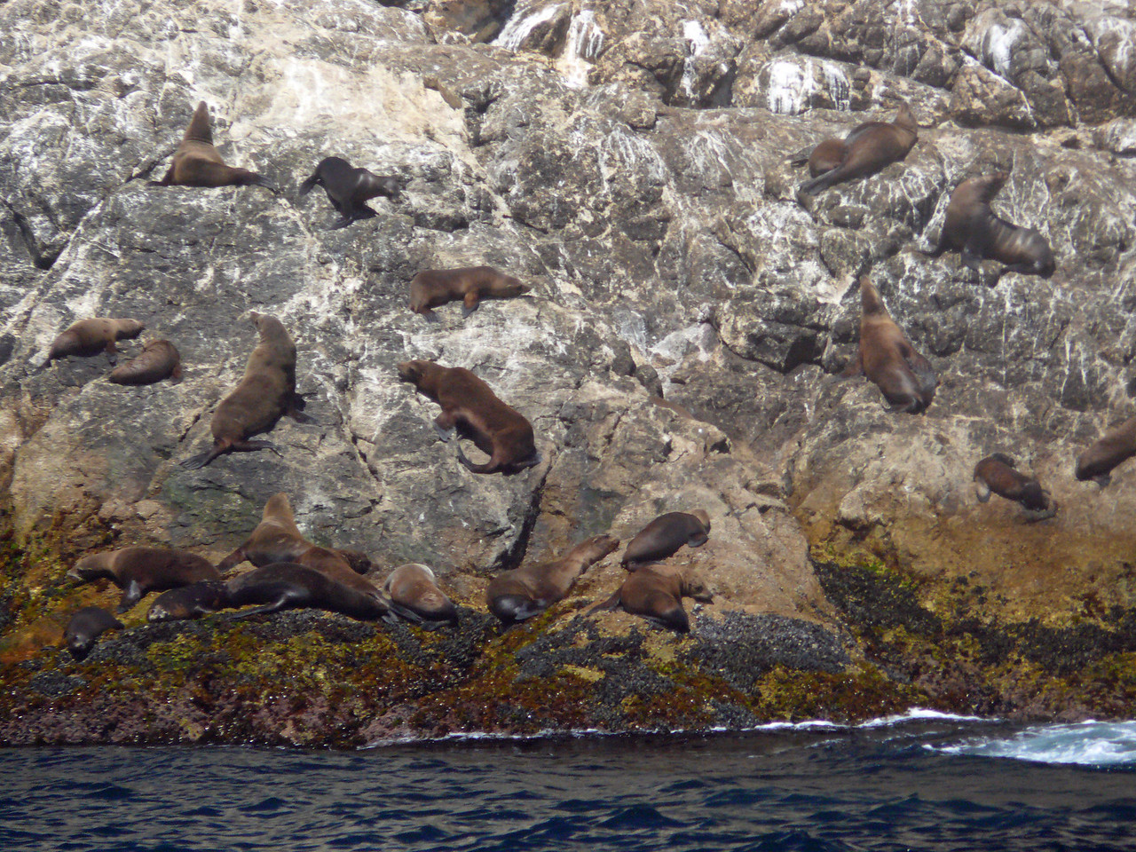 135 Farallon Islands sea lions