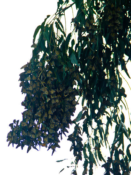 Monarch Butterflies, Ardenwood, Jan 2013