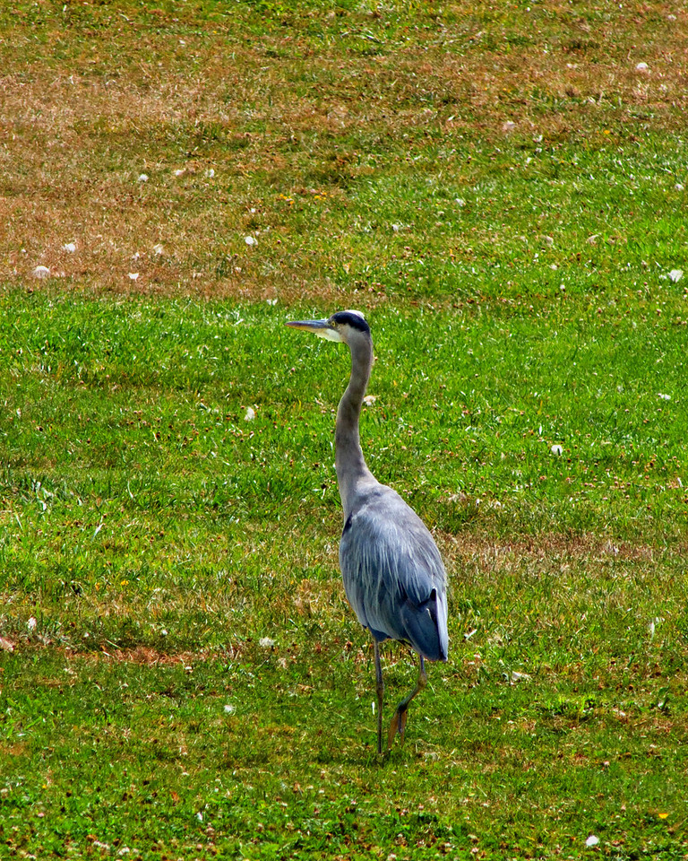 108 Great blue heron