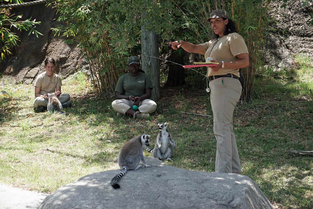 1454 lemur feeding
