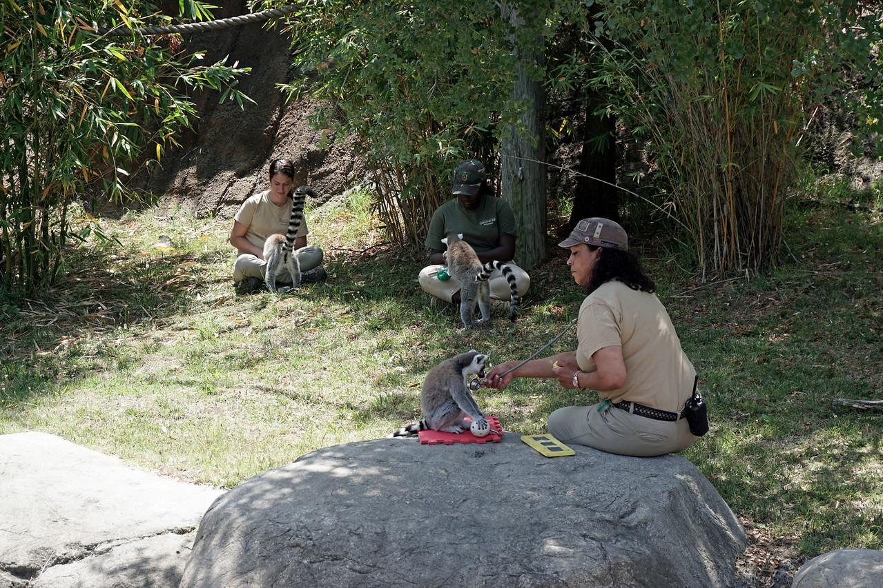 1418 lemur feeding