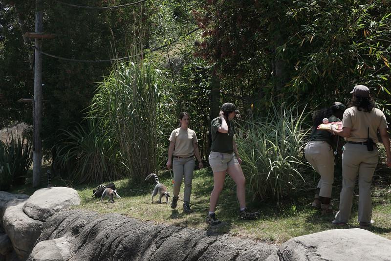 1398 lemur feeding