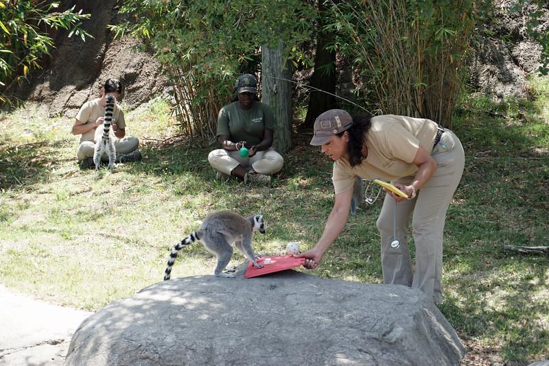1408 lemur feeding
