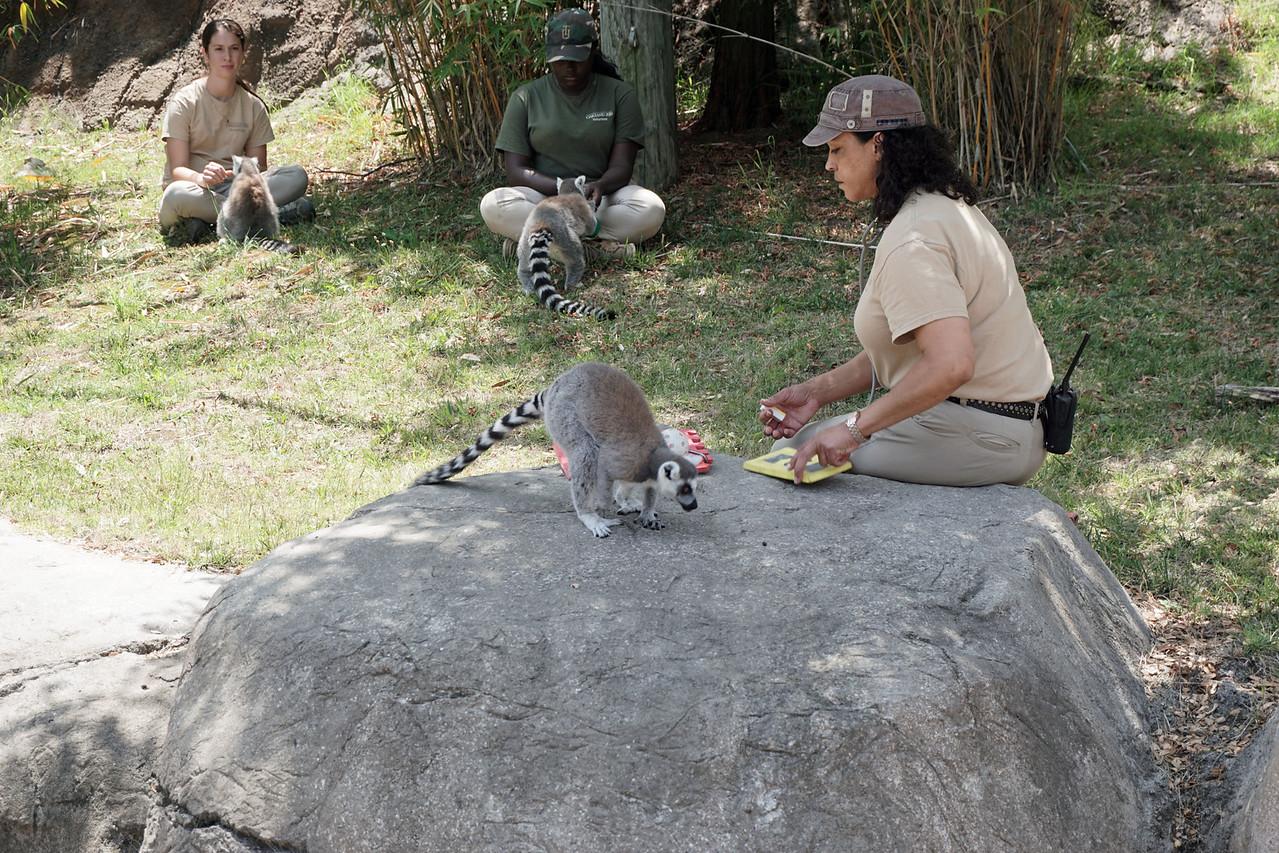 1445 Lemur feeding