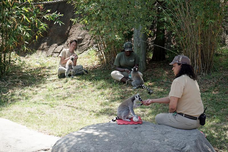 1412 lemur feeding