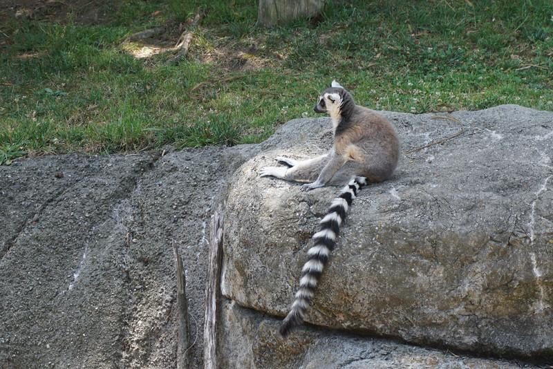 1390 lemur