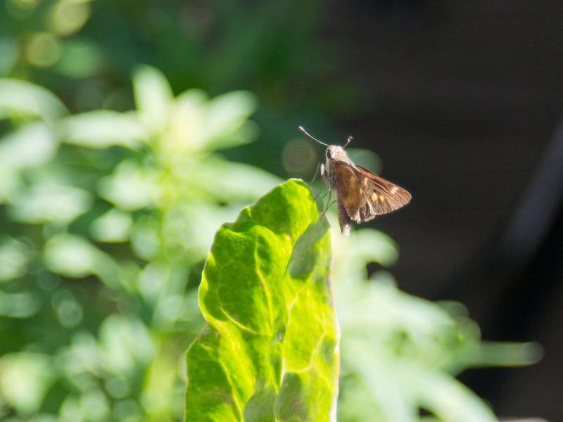 3035 Butterfly
