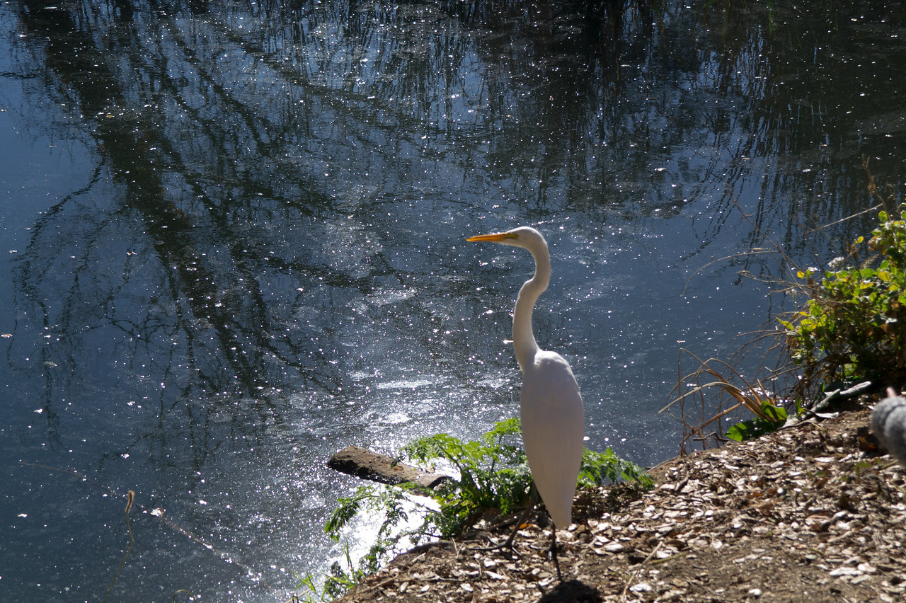 3569 Great Egret