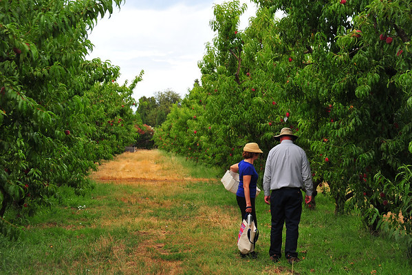 Peach Picking at Frog Hollow, Jun 2013