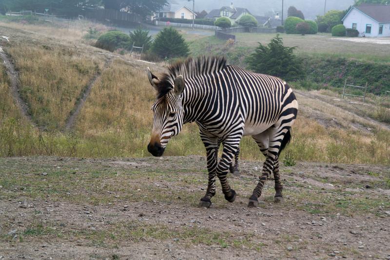 2470 Mountain Zebra